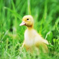 eendje op groen gras foto