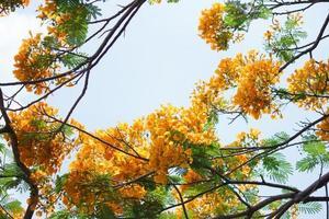geel flamboyant foto