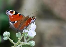 vlinder die op bloem rust foto