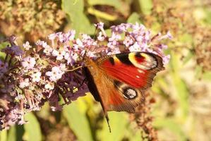 Buttefly foto