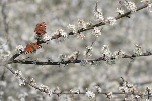 vlinder op bloesem foto