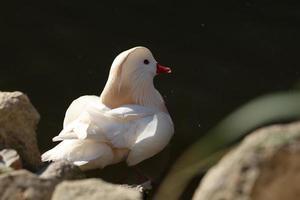 witte Mandarijneend op het meer