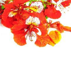 de bloemen van de vlamboom die op wit worden geïsoleerd foto