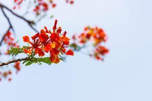 oranje caesalpinia pulcherrima foto