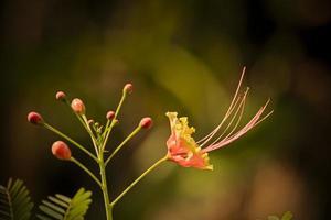 caesalpinia pulcherrima, poinciana, pauwbloem foto