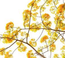 flam-boyant bloem achtergrond foto