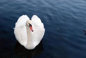 liefdesvogel foto