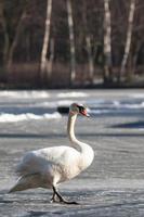 stomme zwaan wandelen in de natuurlijke winteromgeving. foto