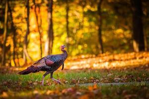 thanksgiving kalkoen foto
