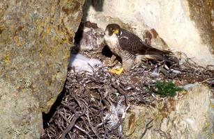 slechtvalk, falco peregrinus foto