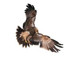 keizerlijke adelaar foto