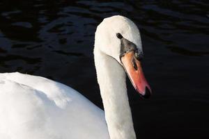 mooie witte zwaan op waterachtergrond foto