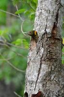grotere geelsnuitspecht (picus flavinucha) foto