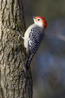 roodbuikspecht op een boom foto