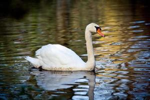nobele zwaan met weerspiegeling in het water foto