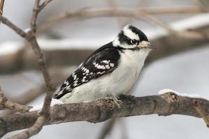 vrouwelijke donzige specht vogel zat op een met sneeuw bedekte boom