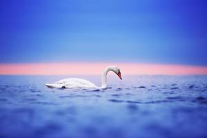 zwaan drijvend op het water bij zonsopgang van de dag foto