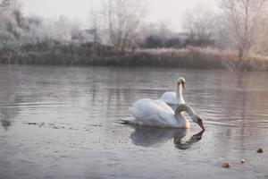zwanen op het meer in de vroege ochtend winter foto