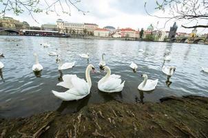 rivier met zwaan in Tsjechië foto