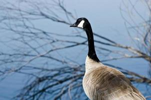 Canadese gans uitkijkend over het meer