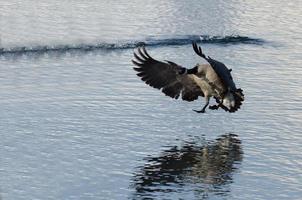 Canadese gans die op de wintermeer landt