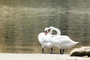 twee verliefde zwanen in de natuurlijke omgeving foto