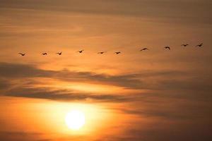wilde ganzen in de zonsondergang foto