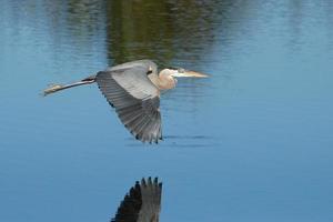grote blauwe reiger die boven het water vliegt foto