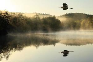 grote blauwe reiger vliegt over mistig meer bij zonsopgang foto