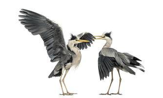 twee grijze reigers klapperen foto