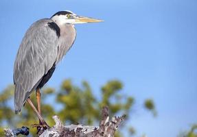 grijze reiger uitkijk, galapagos eilanden