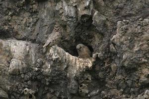 grote gehoornde uilen - moeder met baby foto