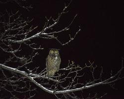 grote gehoornde uil zat 's nachts in de walnotenboom foto