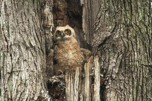 schattige baby grote gehoornde uil in oude boom foto