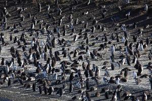 magellan pinguine foto