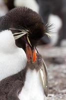 rockhopperpinguïn en haar kuiken foto
