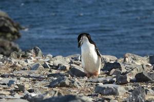zügelpinguin of kehlstreifenpinguine in der antarktis foto