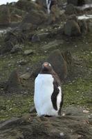 eselspinguine in der antarktis