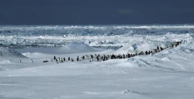 pinguïn panorama foto