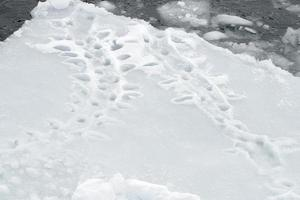 voetafdrukken van pinguïns foto