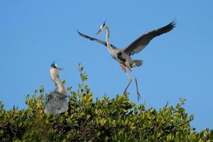 blauwe reiger vliegt naar het nest foto