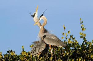 grote blauwe reigers in het nest foto