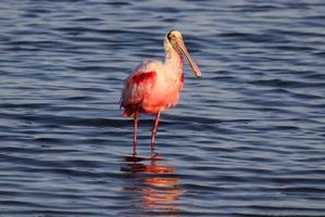 roze lepelaar jacht in water foto