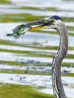 blauwe reiger vangt een bluegill. foto