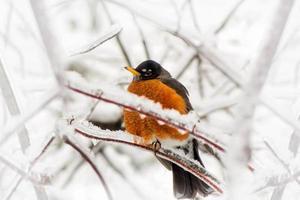 roodborstje in ijsstorm - onder hoek foto
