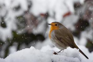 roodborstje onder de sneeuw foto