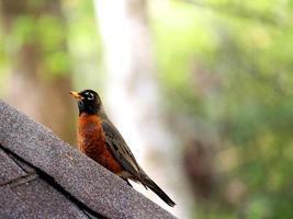 Amerikaanse roodborst vogel foto