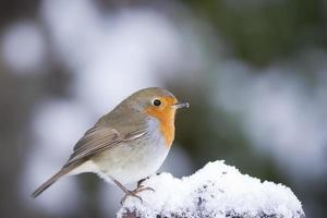 roodborstje in de sneeuw foto