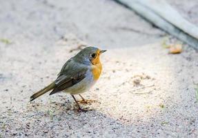 citril finch. kleine vogel met een gele borst foto