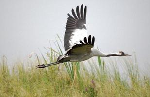 kraanvogel laag vliegen foto
